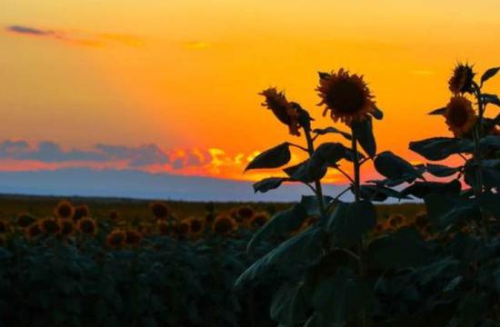 1、福海戈壁滩7万亩向阳花开惹人醉