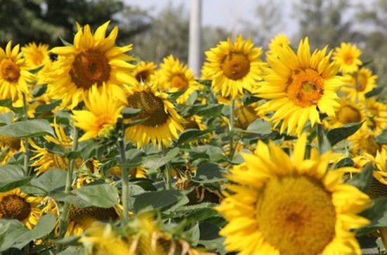 3、北屯市万亩向日葵竞相开放美如画