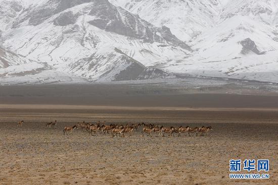 生活在阿尔金山国家级自然保护区内的野驴群。