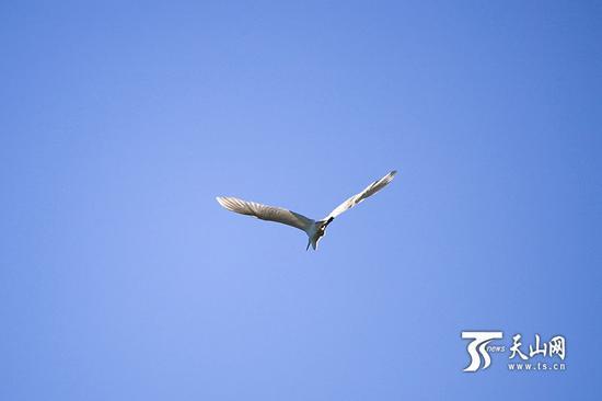 6月18日,呼图壁大海子湿地,一只白鹭在蓝天中飞翔。