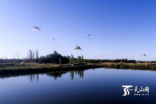白鹭苍鹭飞,黑鹳灰鹤舞:呼图壁湿地成鸟的天堂