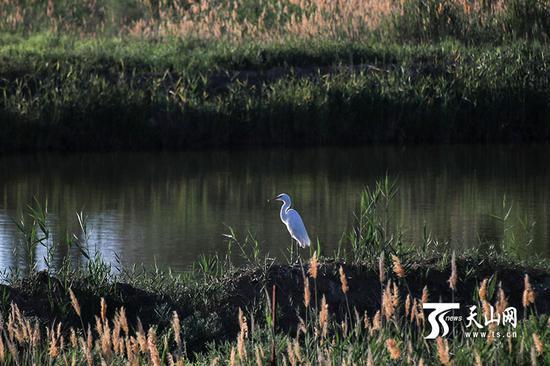 6月18日,呼图壁大海子湿地,一只白鹭在库塘边。