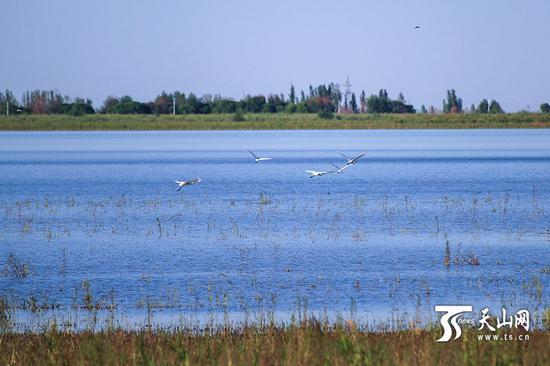 6月18日,呼图壁大海子湿地,一群白鹭飞向远方。