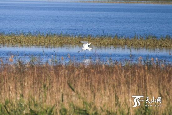 6月18日,呼图壁大海子湿地,一只白鹭在芦苇丛中飞翔。