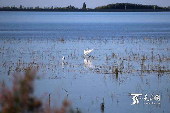 6月18日,呼图壁大海子湿地,一只白鹭飞到同伴附近。