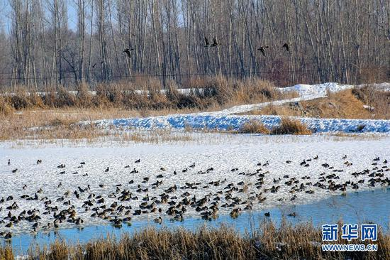 温泉县:湿地融冻 候鸟翔集