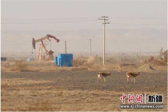 新疆油田:退出卡拉麦里保护区 守护野生动物担当仍在