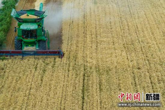 新疆尉犁:沙漠边城小麦喜获丰收