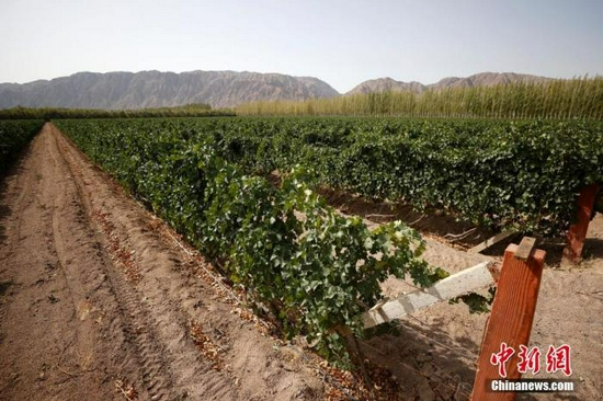 图为9月24日拍摄的新疆天塞酒庄葡萄种植园。中新社记者 富田 摄
