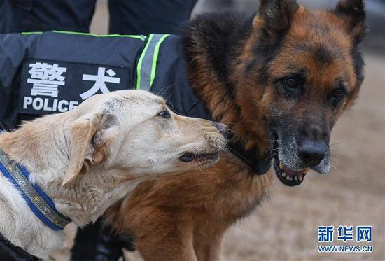 """1月15日,即将组成搭档的警犬""""皮特""""(前)与""""哼哼""""在一起。武汉铁路公安处警犬大队的警犬""""皮特"""",是一只出生于2018年3月的拉布拉多搜爆犬。它在训导员丁岩十个月的训导下,将在今年春运期间,与一只服役近十年、即将退役的老德牧警犬""""哼哼""""搭档上岗,为旅客出行提供安全保障。新华社记者 程敏 摄"""