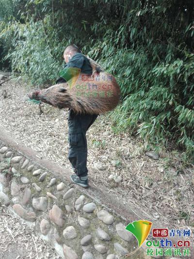图为西南科技大学保卫处工作人员抓捕野猪后将其背下山。学校供图