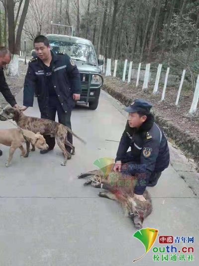 图为西南科技大学保卫处工作人员抓捕野猪现场。学校供图