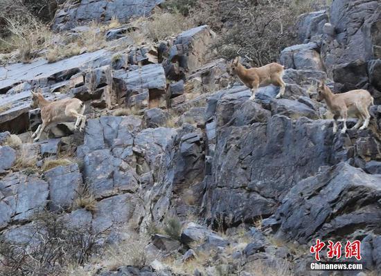 新疆东天山成群北山羊山间觅食
