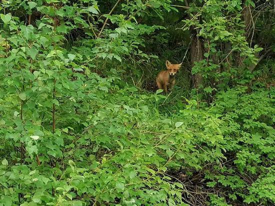 新疆喀纳斯景区一只狐狸走出密林其状可爱