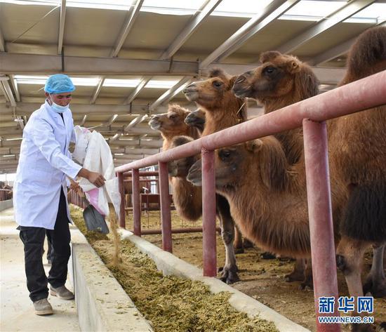 """新疆柯坪县要因:戈壁滩上发""""驼""""财"""