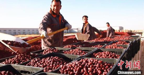 新疆且末县逾19万亩红枣园迎采收季(图)