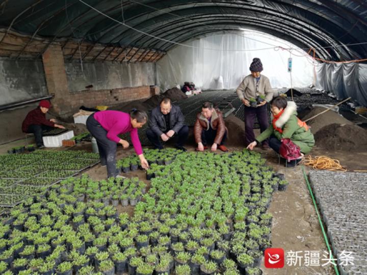 乌苏市八十四户乡万亩无公害蔬菜基地的蔬菜大棚里,室内的温度达到26摄氏度,村民正在育苗、移栽。