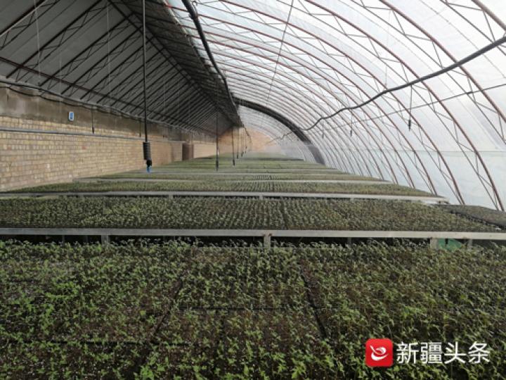 喀什地区疏勒县库木西力克乡库木西力克村果蔬育苗温室内各类蔬菜瓜果苗长势喜人。