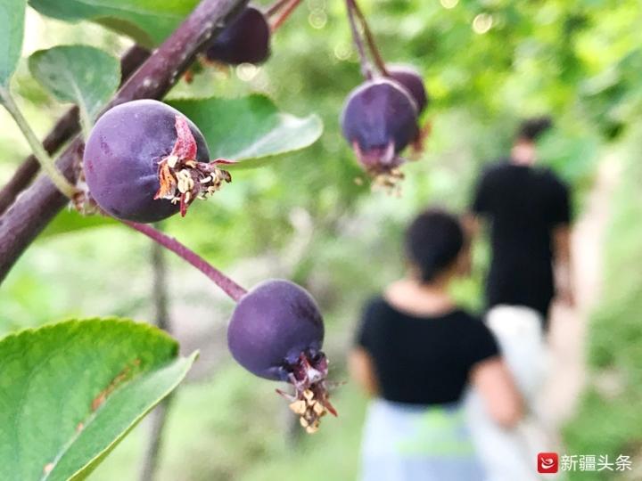 图为乌鲁木齐今日天气晴好,路边树上的紫色海棠果已经显示出了果实的魅力。记者 张万德摄