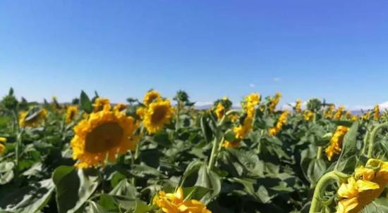 4、新疆青河县3万亩向日葵让游客流连忘返