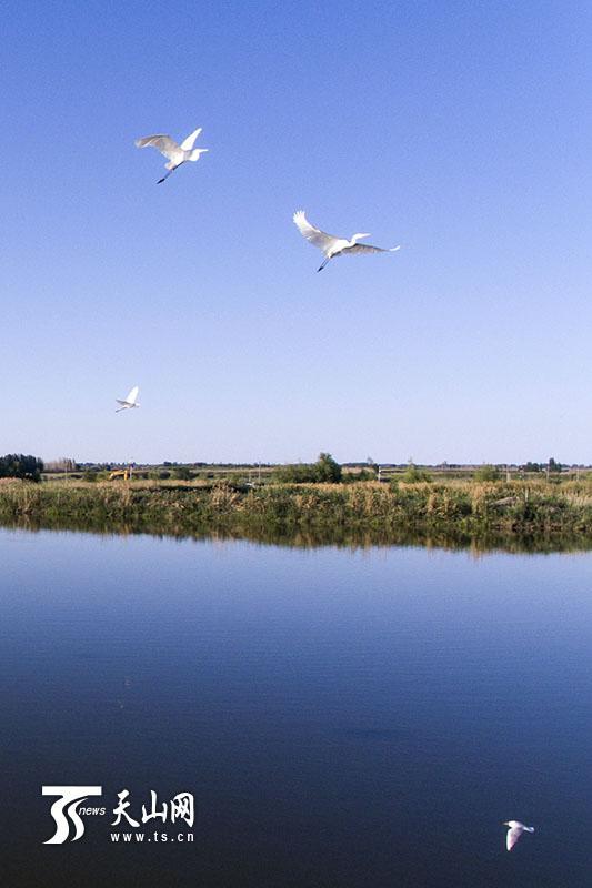 6月18日,呼图壁大海子湿地,白鹭和其他水鸟齐飞。