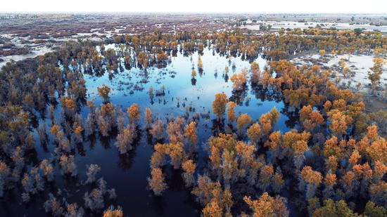 新疆轮台县四百余万亩天然胡杨林迎来最佳观赏季