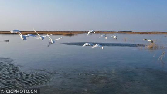 新疆博湖:芦苇摇曳天鹅舞