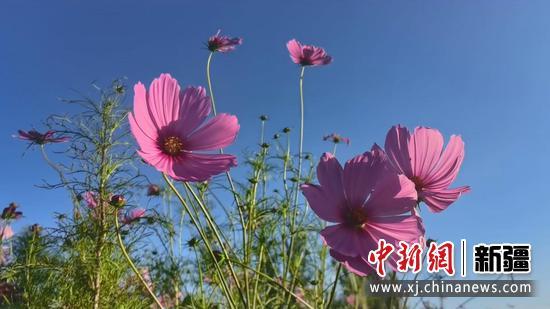 新疆和硕:格桑花盛开为秋日美景添亮色