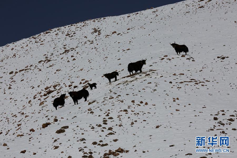 野牦牛在阿尔金山国家级自然保护区内的雪山上行走。
