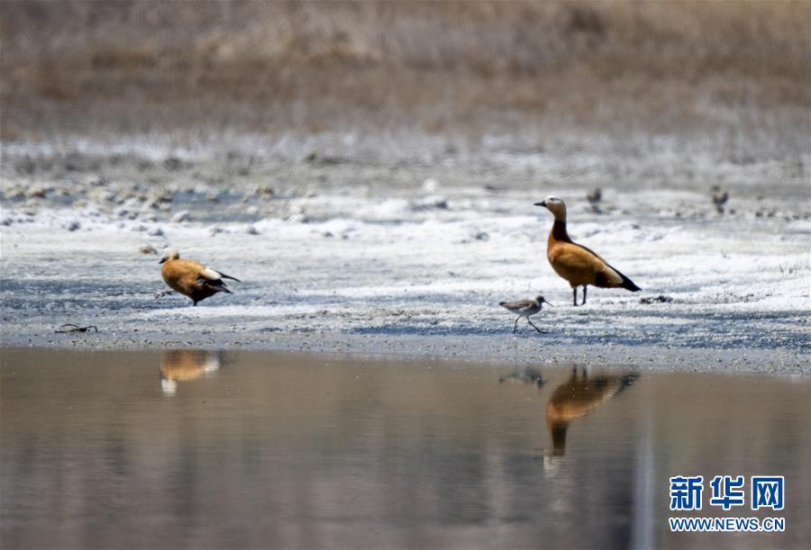 4月27日,野生鸟类在巴里坤湖边觅食。 新华社记者 张啸诚 摄