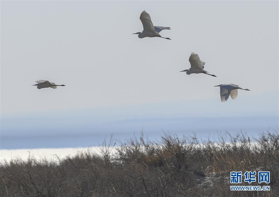 3月28日,水鸟在乌伦古湖国家级湿地公园内飞翔。新华社记者 赵戈 摄