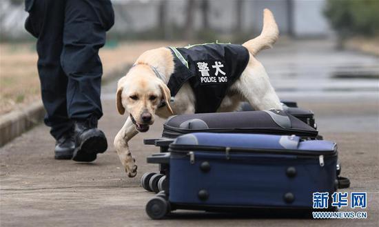 """1月15日,警犬""""皮特""""在进行搜爆特训。武汉铁路公安处警犬大队的警犬""""皮特"""",是一只出生于2018年3月的拉布拉多搜爆犬。它在训导员丁岩十个月的训导下,将在今年春运期间,与一只服役近十年、即将退役的老德牧警犬""""哼哼""""搭档上岗,为旅客出行提供安全保障。新华社记者 程敏 摄"""