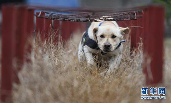 """1月15日,警犬""""皮特""""在进行岗前特训。武汉铁路公安处警犬大队的警犬""""皮特"""",是一只出生于2018年3月的拉布拉多搜爆犬。它在训导员丁岩十个月的训导下,将在今年春运期间,与一只服役近十年、即将退役的老德牧警犬""""哼哼""""搭档上岗,为旅客出行提供安全保障。新华社记者 程敏 摄"""