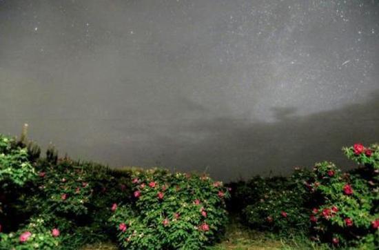 5月9日清晨5时,记者在玫瑰花田里用慢门拍摄的流星。和心爱的人一起在玫瑰园看流星、许个愿,也许这就叫浪漫。