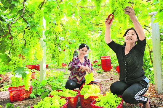 压题图:8月7日,吐鲁番市高昌区亚尔镇英买里村村民在采摘葡萄。目前正是吐鲁番葡萄大量成熟上市的季节,葡萄架下,果农们正忙碌着剪葡萄、装箱。□本报记者甄世新摄