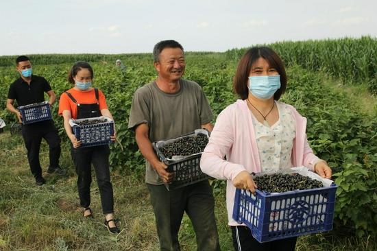 """吉木萨尔县""""访惠聚""""驻村工作队帮村民采摘黑加仑"""