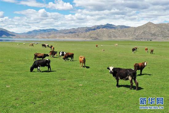 这是6月7日在新疆可可托海世界地质公园伊雷木湖景区拍摄的牛羊(无人机照片)。新华社记者 丁磊 摄