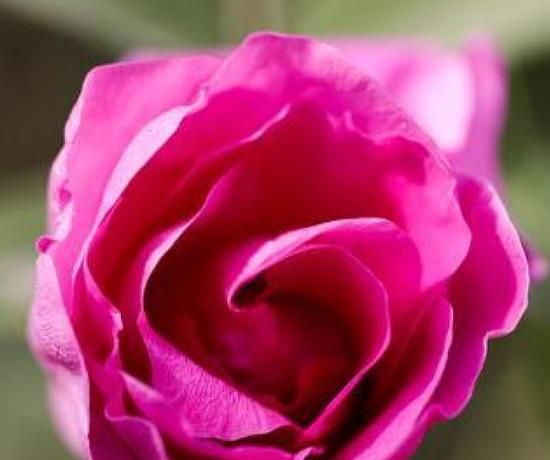 5月9日,一朵玫瑰花在花田里静静地绽放。
