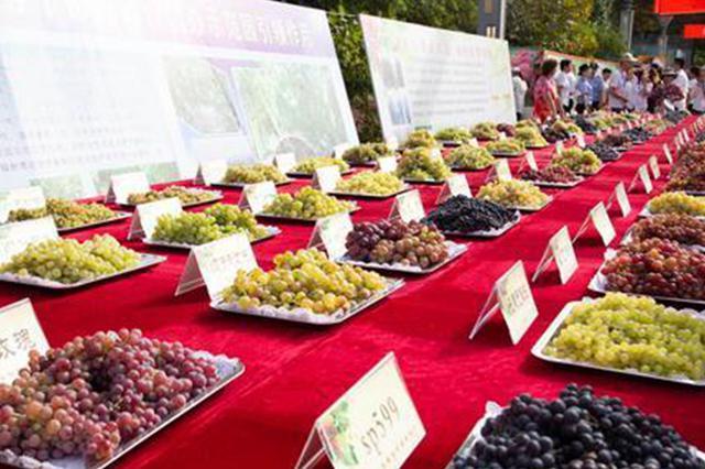 吐鲁番葡萄节展出220种葡萄