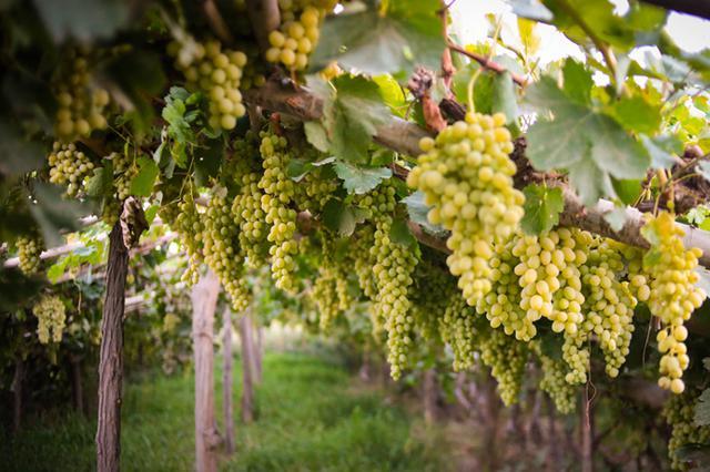 亩产1吨 新疆阿图什木纳格葡萄熟了