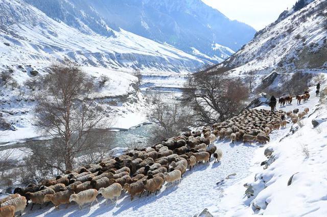 【疆遇风光】昭苏牧民赶牲畜前往温暖冬牧场越冬