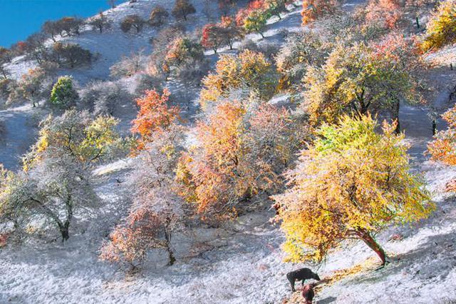 【疆遇风光】初冬雪后的新源县野杏林和大草原宛如童话世界