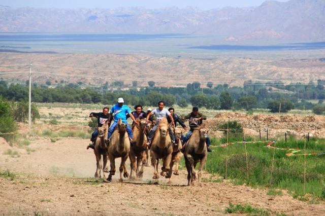 周末去和硕金沙滩看萌眼大长腿骆驼比赛和选美