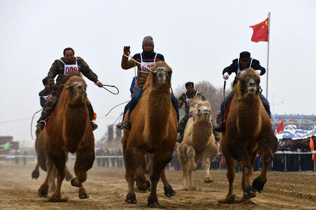【高清组图】巴州首届赛骆驼大会在和硕县举行