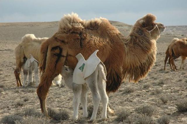 这趟旅行的大门,只向最好的骆驼养殖户敞开