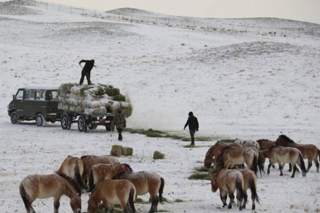 卡拉麦里保护区工作人员投放草料助野马过冬