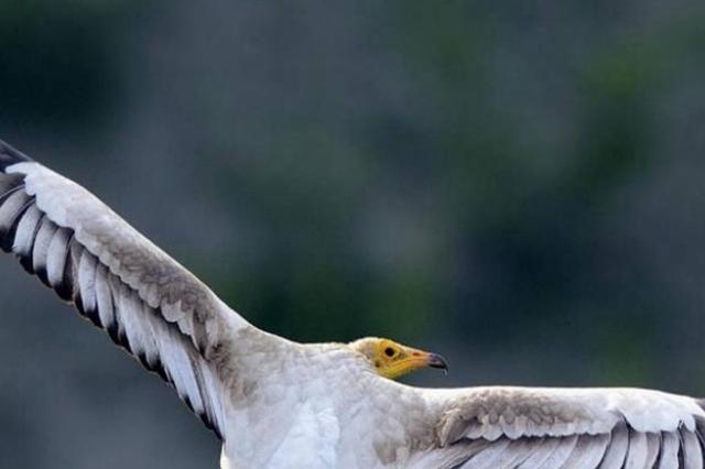 新疆鸟友今年发现三个鸟类新记录 六种罕见鸟种