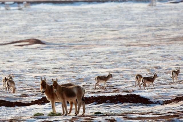 卡山自然保护区生态环境修复 大群蒙古野驴、鹅喉羚撒欢觅食