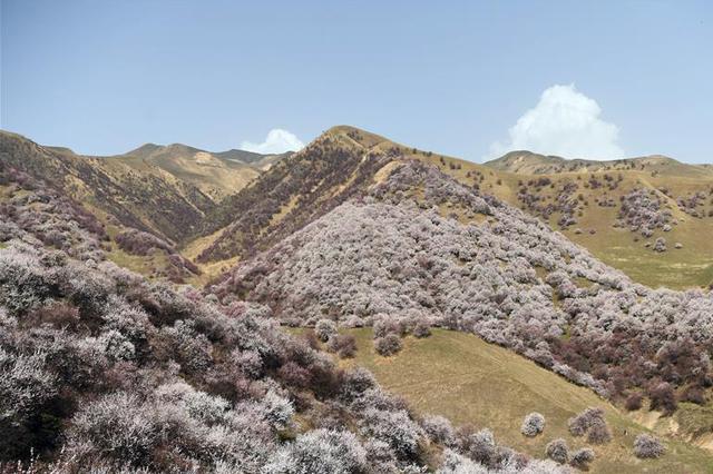 新疆吐尔根杏花谷掀起旅游热潮