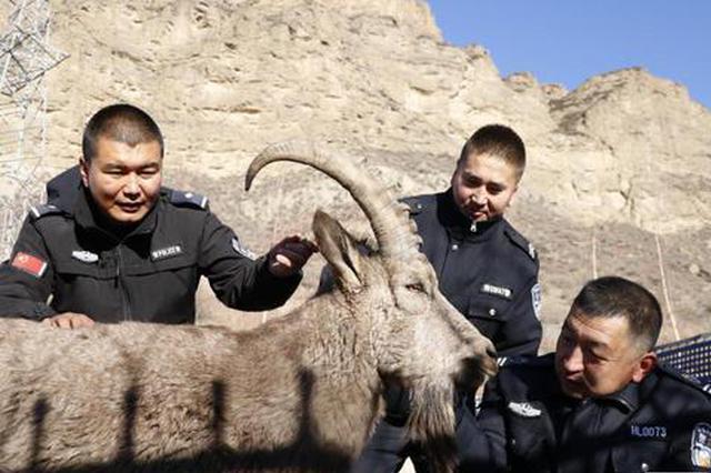 呼图壁县成功救助国家一级保护动物北山羊